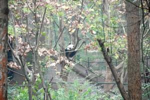 Desde finales de 2013 trabaja en un proyecto para la conservación del panda gigante, especie en peligro de extinción.