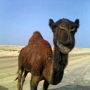 Un dromedario, junto a la obra, lo que demuestra que vive en pleno desierto.