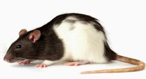 Rata Long Evans modelo animal para nuestro estudio de bioseguridad