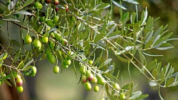 El aceite de Paterna del Campo, un zumo de aceitunas que ya saboreaban en la Antigua Roma