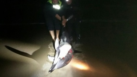 Logran devolver al mar a un delfín que había quedado varado en la playa de Isla Canela