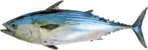 La almadraba es una técnica destinada a la pesca del atún.