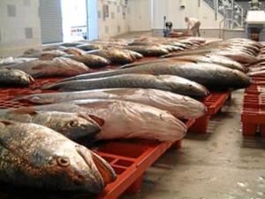 Huelva, un referente en pesca fresca. / Foto: Lonja de Isla Cristina.