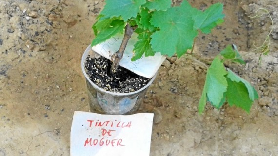 La 'Tintilla de Moguer' podría confirmarse como una variedad de uva tinta única en el mundo