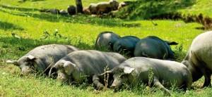 Despiece de cerdos ibéricos.