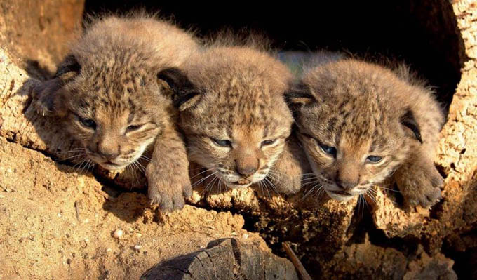Crías de lince ibérico. / Foto: Lynx Ex-Situ