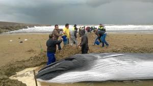 Este año apareció una ballena varada en la playa de Punta del Moral y numerosos voluntariados ayudaron para devolverla al mar.