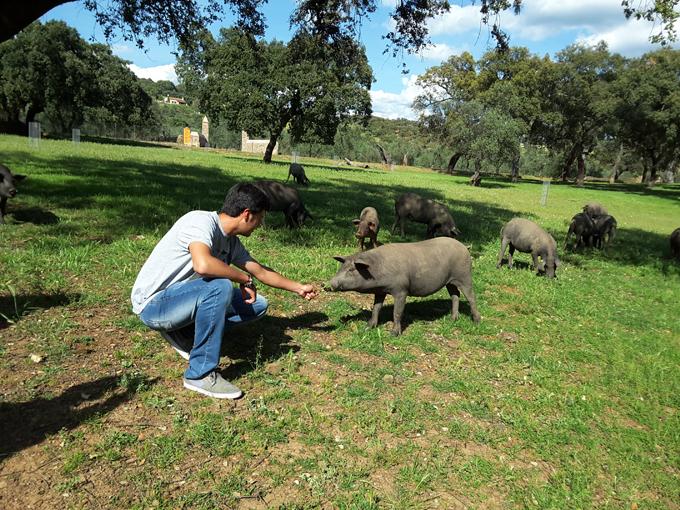 Ecuatorianos-cerdo-criollo3