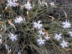 Ejemplar del clave silvestre (dianthus inoxianus), que está siendo objeto de estudio.