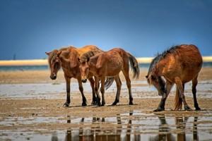 El ganado marismeño onubense se adaptó muy bien a las condiciones climatológicas americanas. / Foto: historiavera.com