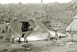 La caza de ballenas había desaparecido en España en el siglo XVIII. / Foto: www.ub.edu