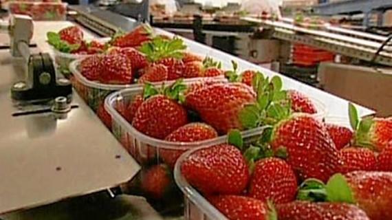 Aumentan las exportaciones de fresa, con datos récord de las últimas cinco campañas