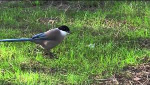 El mohíno, pájaro del que toman su nombre los de Riotinto.