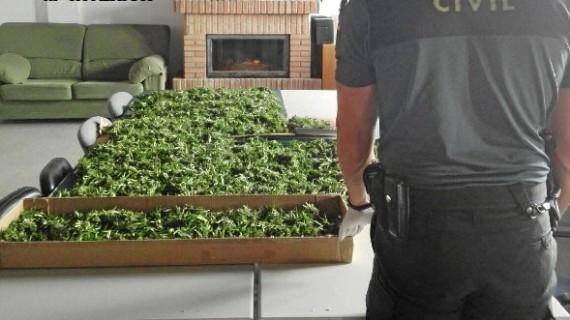 Detenida una persona que cultivaba plantas de marihuana en una finca en Paymogo