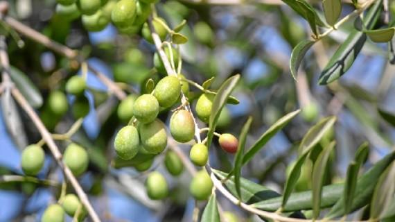 Oleodiel afronta con optimismo el comienzo una nueva campaña de recogida de aceitunas