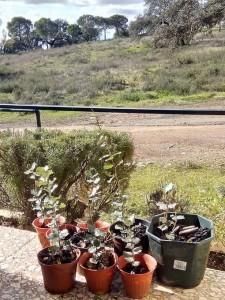 zalamea plantacion arboles cistus jara