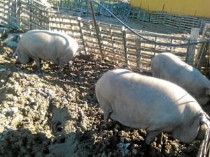 Los cochinos están en Trigueros desde el pasado 26 de diciembre.
