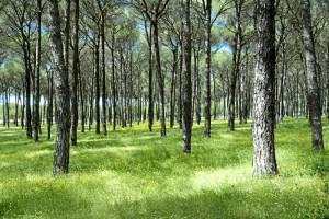 Los bosques de pinos de la provincia de Huelva ofrecen espacios mágicos.
