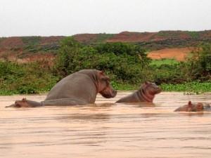 Navegando por el río Níger era frecuente ver hipopótamos.