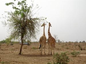 La población de jirafas en Níges es muy extensa.