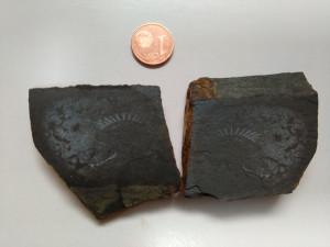 Graptolitos del género Rastrites hallado por Garzón.