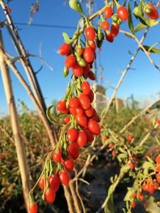 Las bayas de govi es una fruta con muchas propiedades. / Foto: Gojivital.