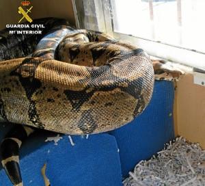 Boa constrictor imperator de 2 metros de longitud aproximadamente hallada en Punta Umbría.