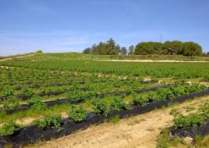 La finca donde se ha iniciado este cultivo se encuentra situada entre Niebla y Rociana.