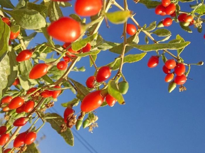 Las XXX Jornadas Técnicas Agrícolas de Lucena del Puerto debaten sobre las bayas de Goji y los kiwiberry