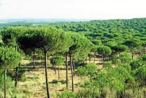 La superficie de pinar de Cartaya es la más grande de Andalucía.