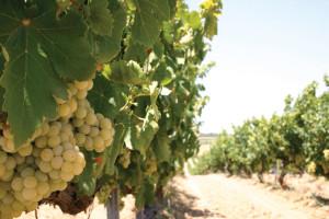 Centro del Vino uva