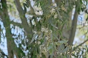 La primera finca de eucalipto diseñada como arboreto estuvo situada en San Bartolomé de la Torrre. / Foto: Uhu.es