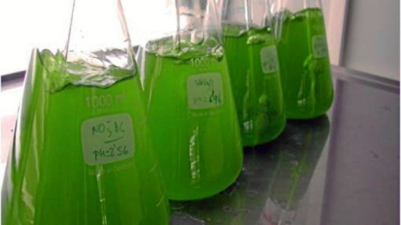 Investigadores de la UHU determinan la capacidad de las microalgas para depurar biogás y obtener biometano