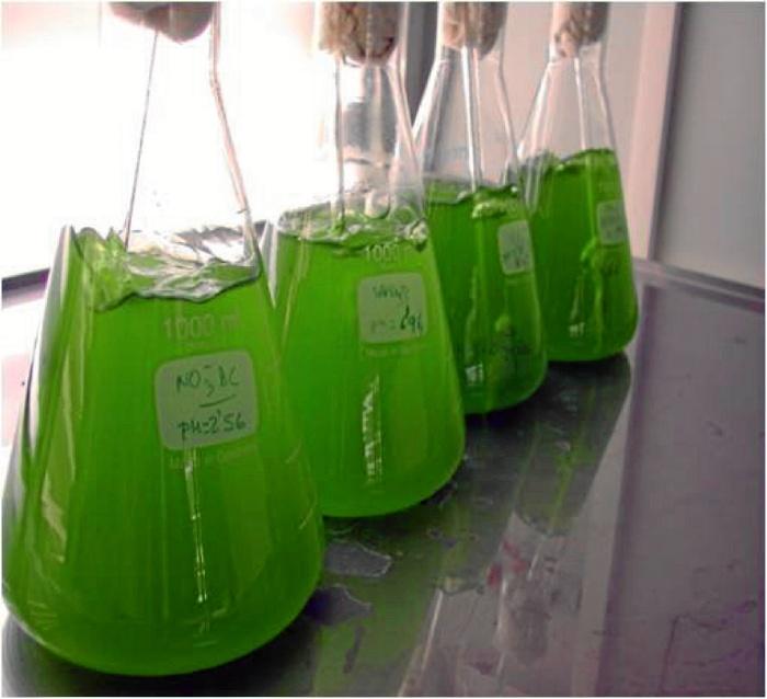 Cultivo de microalgas en laboratorio.