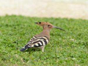 El abubilla es una especie muy interesante para los ornitólogos extranjeros.
