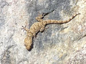 La salamanquesa, un reptil único que encontramos en las ciudades.