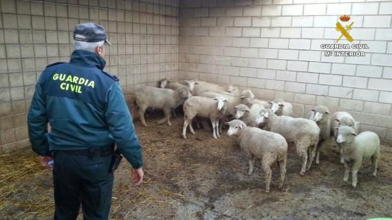 Intervenidos en Paymogo 57 animales de ganado ovino que eran transportados sin ningún tipo de identificación