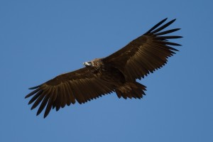 El buitre negro es un ave de extraordinaria envergadura.