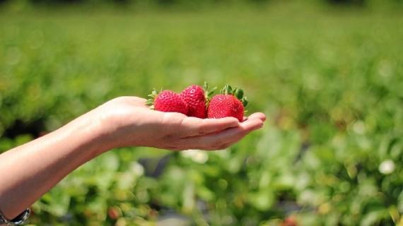 Los agricultores de Huelva reaccionan ante una información que cuestiona la fresa convencional onubense