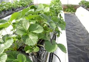 el uso de fibra de coco podría optimizar la producción de la cosecha de fresa.