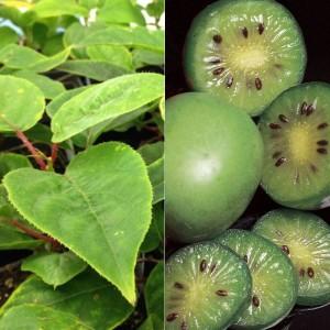 Kiwi de la variedad issai, la que ha cultivado María Dolores Martín. / Foto: Stark Bro's.