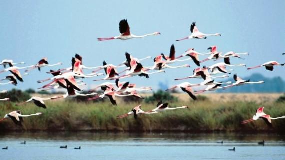 El Paraje Natural en Marismas del Odiel será el escenario del anillamiento de flamencos