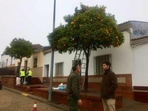 Los trabajadores recogen naranjas en Valverde.