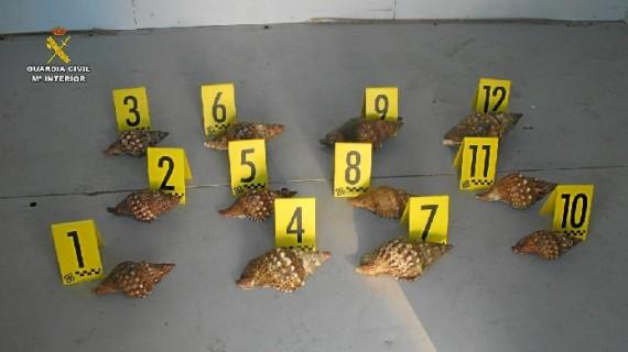 Decomisadas en Ayamonte 12 caracolas marinas de especie protegida
