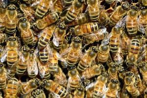 Las abejas de la miel compiten con las salvajes por el mismo hábitat.