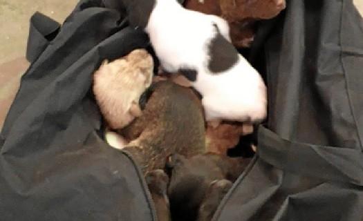 Salvan la vida a once cachorros de mastín de un contenedor en La Antilla