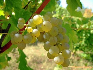 La uva zalema es una variedad autóctona del Condado de Huelva.