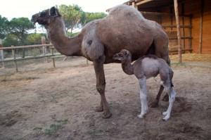 CAMARINA camello parque dunar doñana