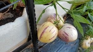 Un cultivo experimental que espera asentarse en el mercado europeo.