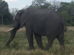 El marfil y las patas de elefantes, dos elementos muy codiciados por los furtivos.